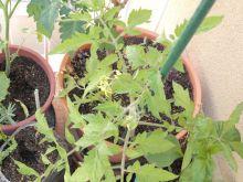 Tomatera Marglobe