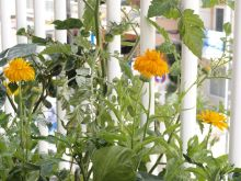 Flores de caléndula abiertas y sus capullos