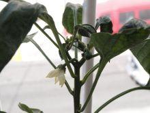 Flores de pimiento de piquillo