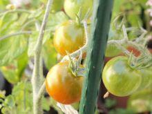 Tomates cherry maskotka madurando