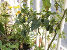 Planta de pimientos jalapeños