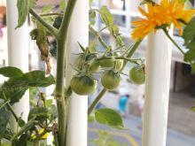 Tomates black cherry