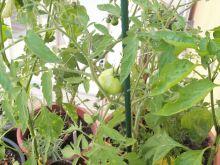 Planta de tomates marglobe
