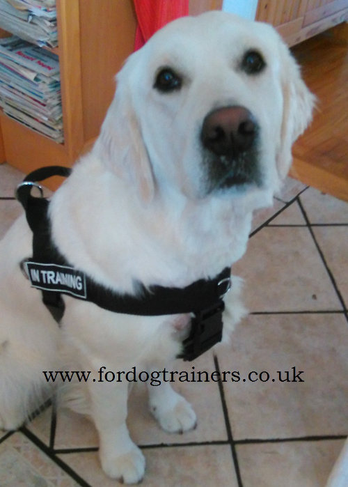 Service Dog Harness Uk For Golden Retriever And Other Dogs