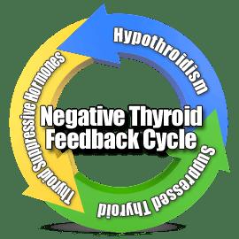 цикл обратной связи по щитовидной железе