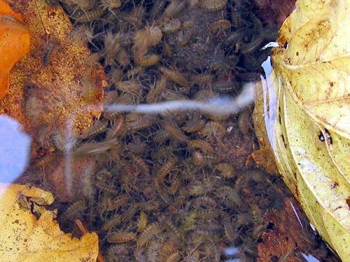 Forelle Äsche Blog Fliegenfischen Fliegenbinden Gammarus1