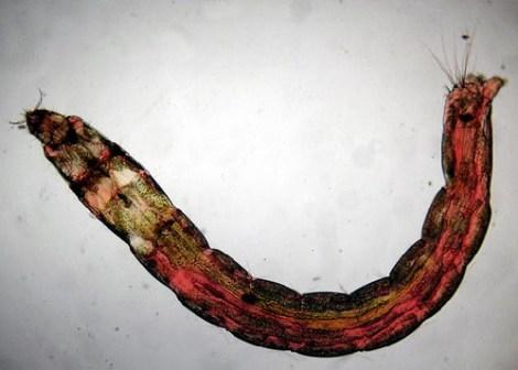 Forelle Äsche Fliegenbinden Chironomidae Bloodworm Zuckmuecken