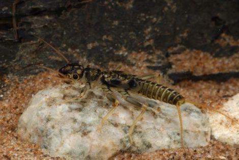 Large Stonefly (Perlodes microcephalus) © Encyclopedia of Life
