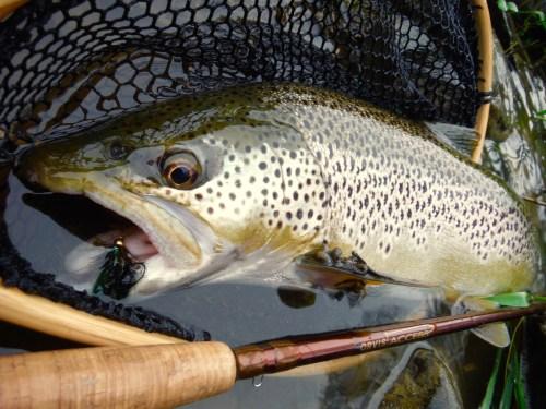 fliegenfischen_streamer_forelle