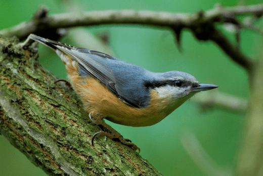 kowalik ptaki leśne