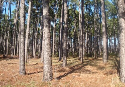plantacje sosny taeda