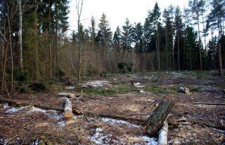 Dlaczego Lasy wycinają lasy.