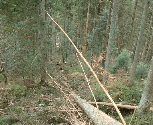 drzewa wokół szlaków zrywkowych