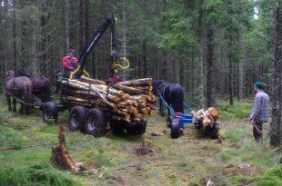 Konie w lasach szwedzkich.