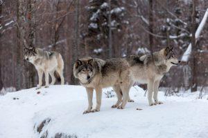 Szwedzko-norweska inwentaryzacja wilka.