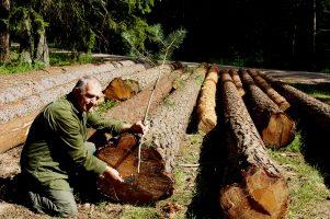 Jak hodować las sosnowy.