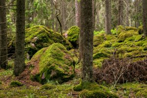 Szwedzkie lasy pierwotne - Część druga.