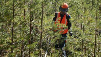 Czy musimy czyścić uprawy i młodniki leśne?