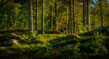 Pierwszy szwedzki narodowy program leśny,