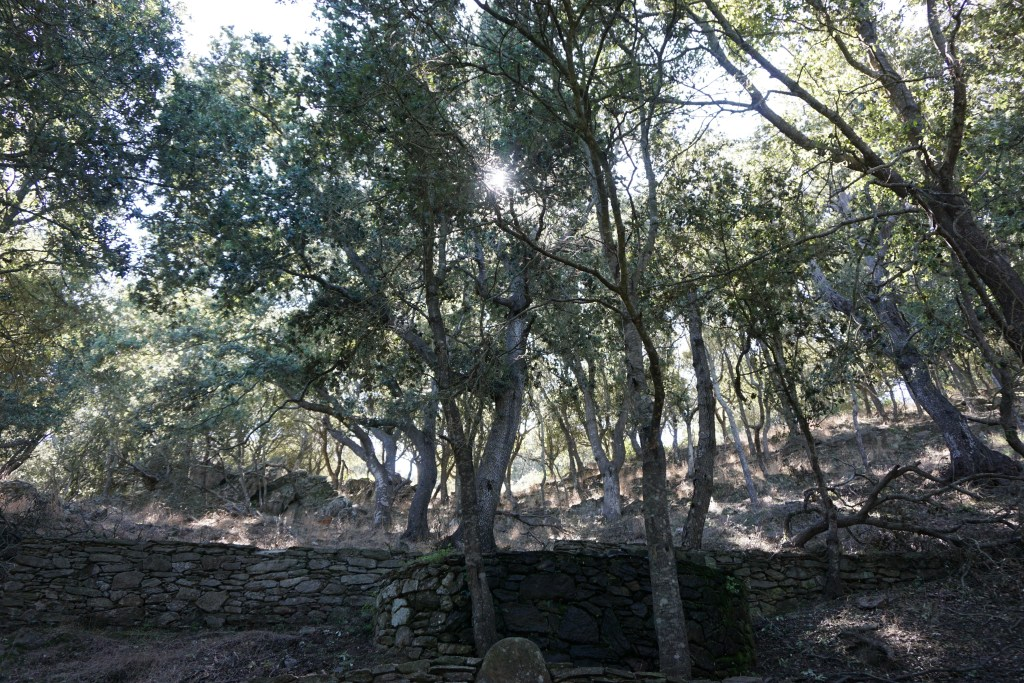 Last stand of Quercus ilex in the Asinara National Park