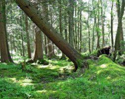 Duże drzewa