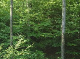 Lasy bukowe