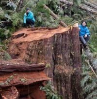 Dolary z Ottawy mogą uratować stary las.