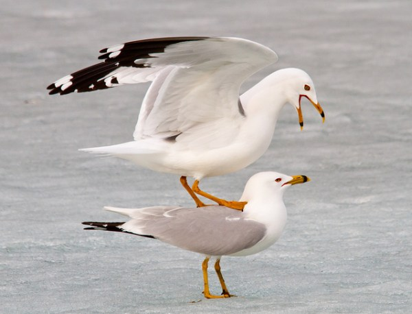 A ring-billed gull finds a creative way to keep his feet warm. (photo by Flickr user Shawn McCready, shared under Creative Commons license)