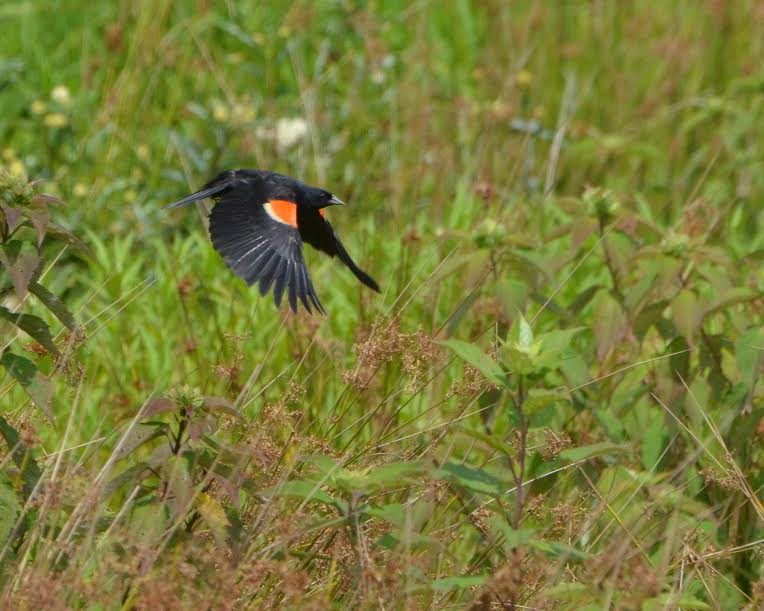 A red-winged blackbird in flight
