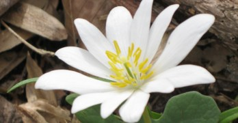 Backyard Nature: These spring wildflowers are fleeting beauties