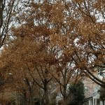 Why some trees aren't letting go of their foliage (Photos)