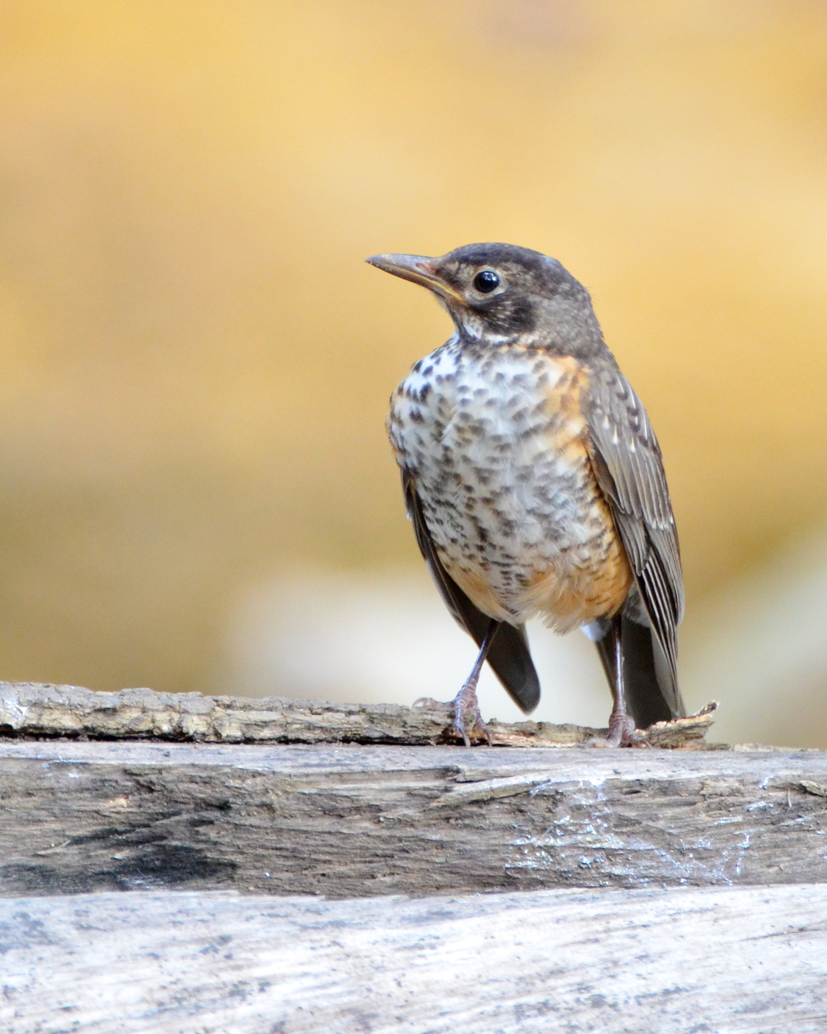 The young robin.