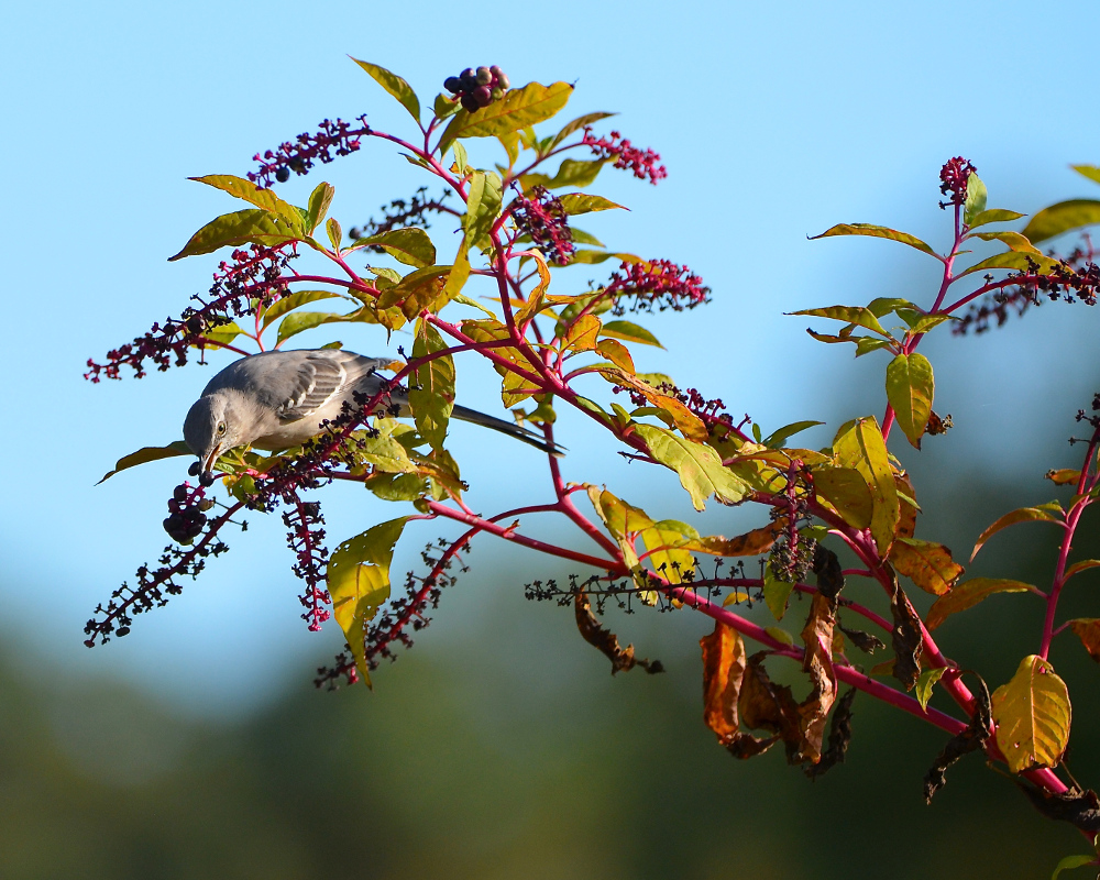 A mockingbird dining on a native pokeweed. The berries are said to be toxic to humans. (IDs by Marjorie Rachlin)