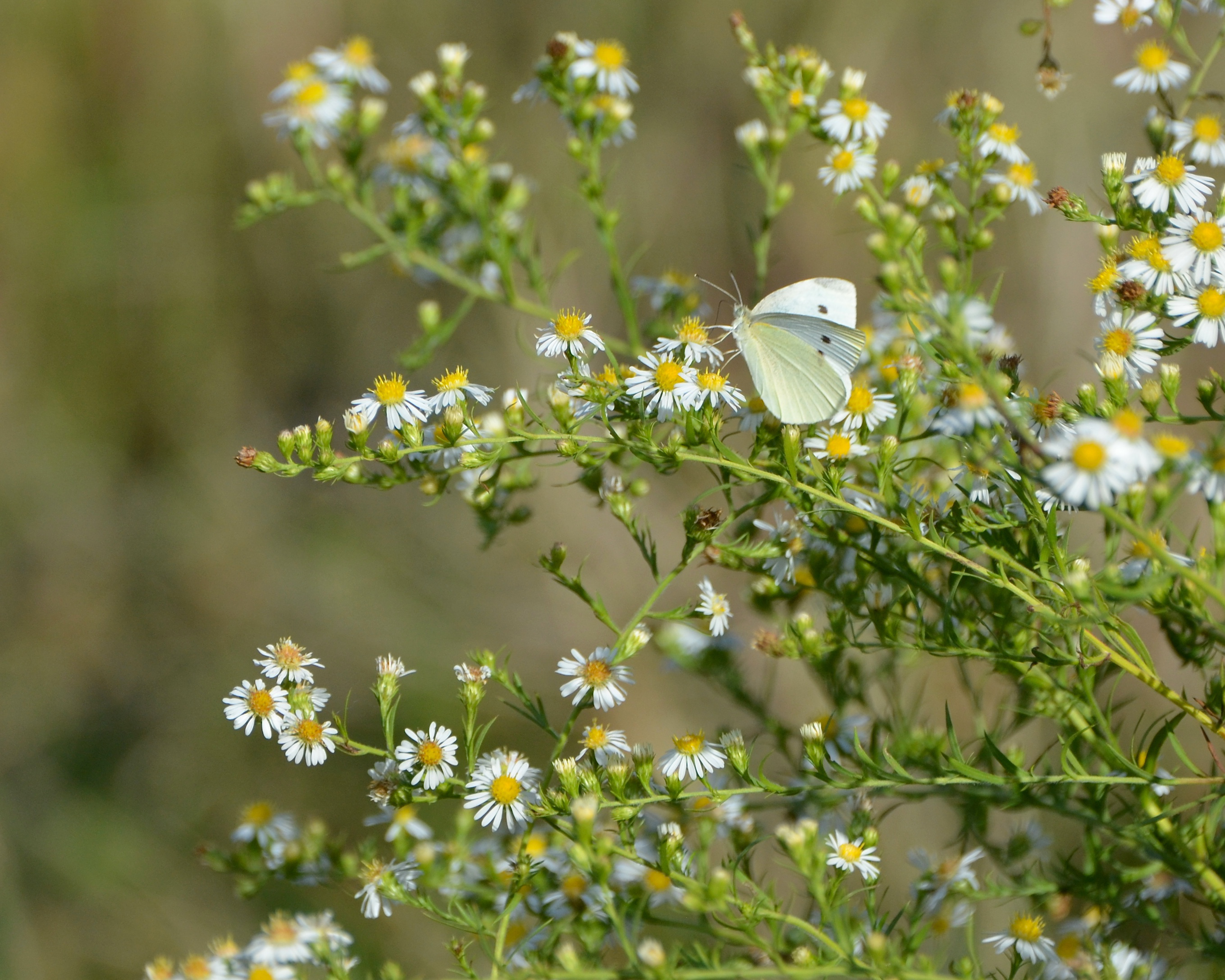 The cabbage white butterfly.