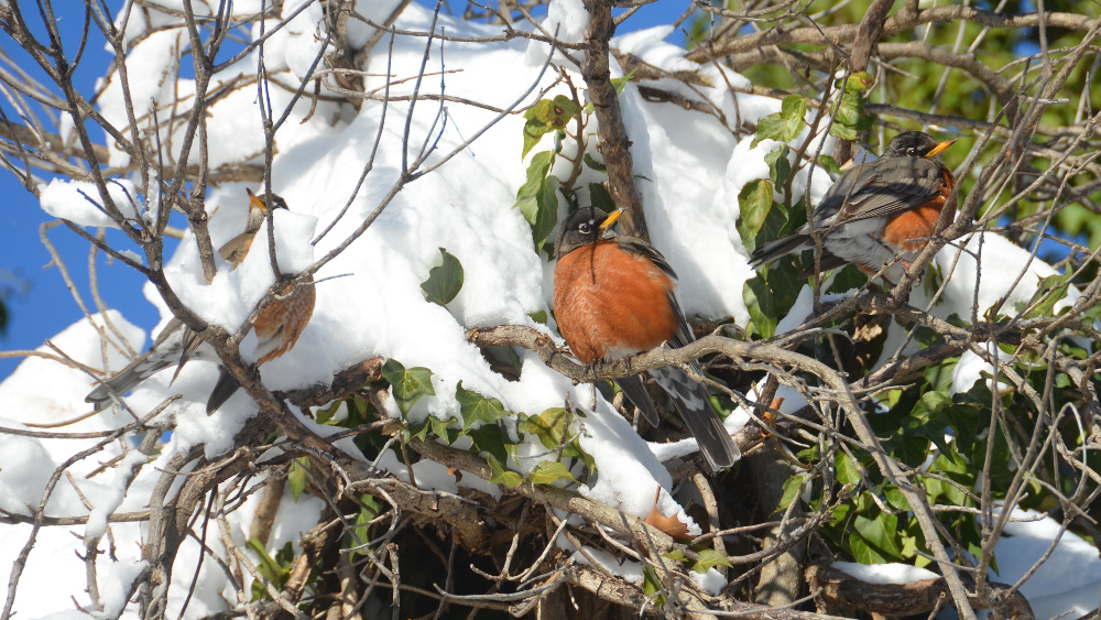 A robin trio, mixed with snow