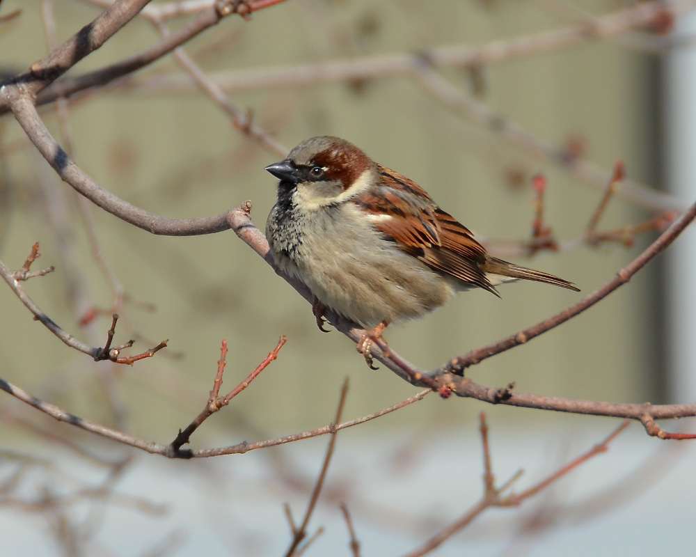 A sparrow near the Van Ness Metro.