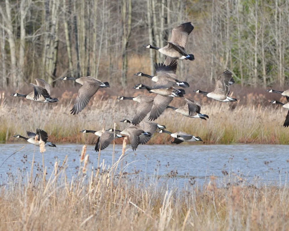 Geese in flight.