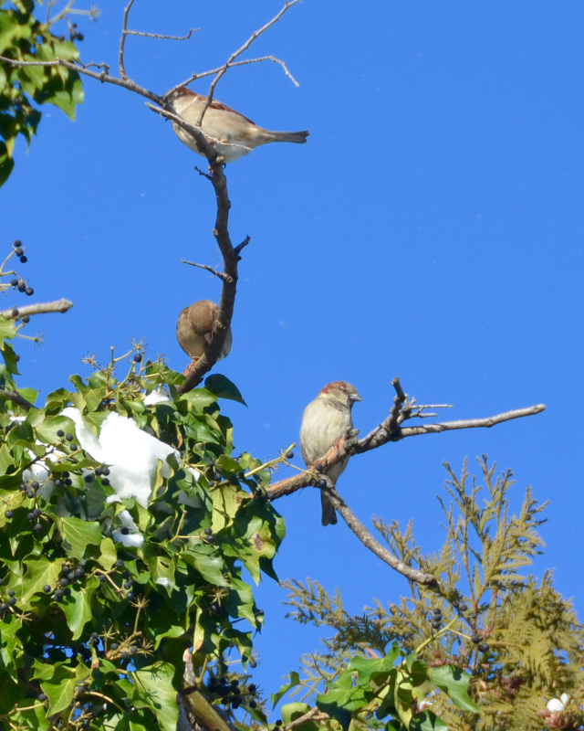 House sparrows in a snowy tree