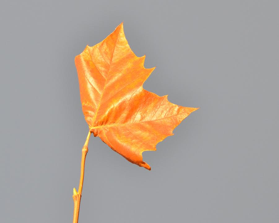 A last leaf at the top of a tree.
