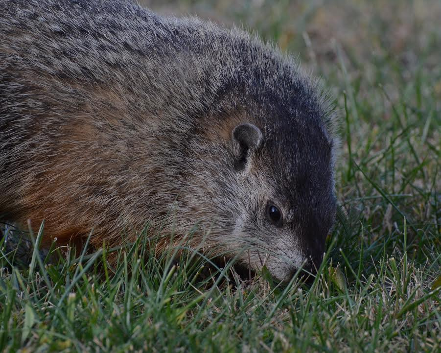A muskrat grazing in the grass by Belmont Bay.