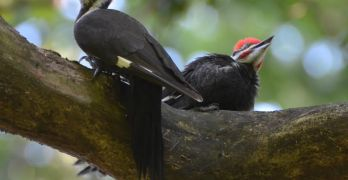 Backyard Nature: The woodpecker version of the Holy Grail