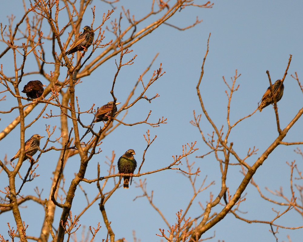 Treetop starlings in the late afternoon.