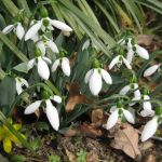 Backyard Nature: Our early bloomers have ancient and foreign roots