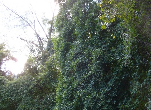 Somewhere underneath all of this English ivy are some trees. (photo by Marlene Berlin)