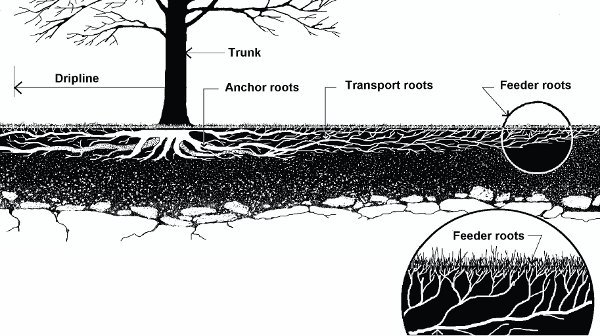 """Critical root zone: Anchor roots, transport roots, feeder roots (DDOT/UFA, Construction, """"Guidelines for Tree Protection"""")"""