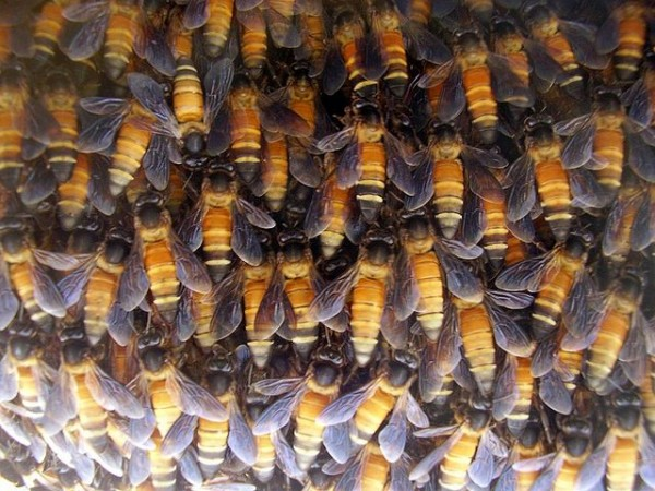 Honey bees cluster in winter. (photo courtesy of Wikimedia Commons, by bksimonb)
