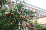 Second grade releases Monarchs in the butterfly garden, 2011.
