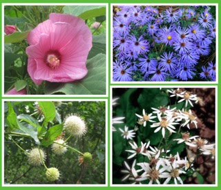 Some native plants for AlmaVerde's gardens. Clockwise starting from upper left, Hardy hibiscus (Hibiscus moscheutos), Aromatic aster (Symphyotrichum oblongifolium), White wood aster (Eurybia divaricata) and Buttonbush (Cephalanthus occidentalis).