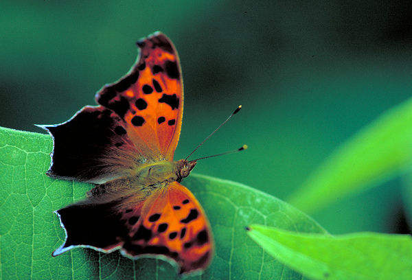 This question mark butterfly overwinters as an adult. (photo courtesy of the U.S. Fish and Wildlife Service, fws.gov)