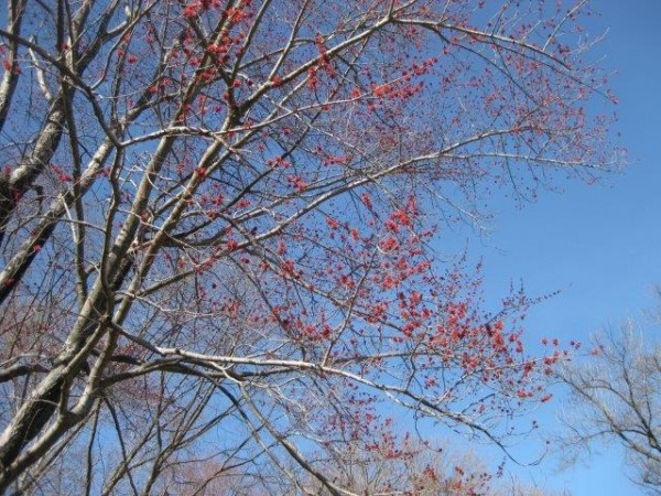Red maple in bloom.